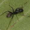 Camponotus pennsylvanicus , Formicinae<br /> MG 4059, St-Hyacinthe, Québec, 3 juin 2012