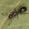 Dolichoderus pustulatus, Dolichoderinae<br /> MG 8044, Dundee, Quebec, 19 juillet 2012