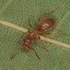 Lasius umbratus ouvriere, Formicinae<br /> MG 5041, St-Hugues, Québec, 11 juin 2012