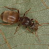 Lasius umbratus reine, Formicinae<br /> MG 2000, Nouvelle,Gaspesie,Quebec, 25 aout 2013