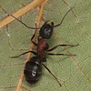 Camponotus noveboracensis ouvriere<br /> MG 7593, St-Hugues,Quebec, 11 Juillet 2012