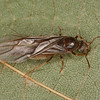 Lasius umbratus reine, Formicinae<br /> MG 1729.2, Nouvelle,Gaspesie,Quebec, 25 aout 2013