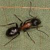 Camponotus novaeboracensis <br /> MG 2171, Pointe-a-la-Garde, Quebec, 28 aout 2013