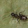 Camponotus sp, <br /> MG 2463, St-Alphonse-de-Caplan, Gaspesie. Quebec,  29 aout 2013