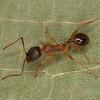 Aphaenogaster sp, Myrmicinae <br /> MG 7004, St-Hugues, Quebec, 14 mai 2013