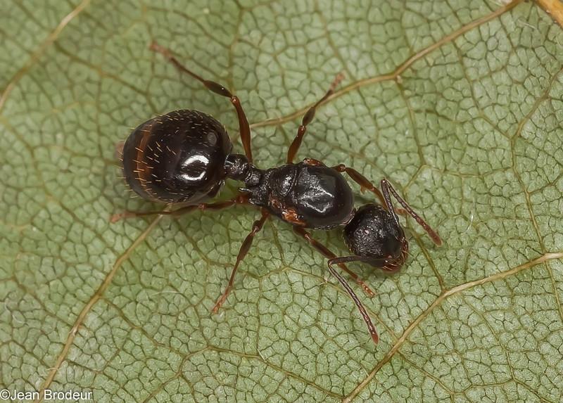 Aphaenogaster picea reine, Myrmicinae<br /> MG 9485 , St-Hyacinthe, Quebec, 9 aout 2012