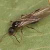 Aphaenogaster picea reine, Myrmicinae<br /> MG 8696, St-Hugues, Quebec,28 Juillet 2012