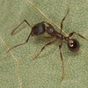 Aphaenogaster sp. Myrmicinae <br /> MG 5973, Dundee, Quebec, 1 mai 2013