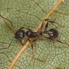 Aphaenogaster picea, Myrmicinae<br /> MG 9396 , St-Hyacinthe, Quebec, 9 aout 2012