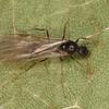 Aphaenogaster sp. male, Myrmicinae, <br /> MG 9973 , Ste-Julienne, Quebec, 13 aout 2012