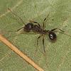 Aphaenogaster picea, Myrmicinae<br /> MG 8780, St-Hugues, Quebec,28 Juillet 2012