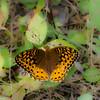 Speyeria atlantis, Argynne de l'Atlantique, Atlantis fritillary- Hodges#4459 , Argynnini, Heliconiinae, Nymphalidae<br /> 8882, St-Hugues, Quebec, 10 juilllet 2010