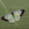 Colias philodice forme blanche, Coliade du trèfle, Clouded Sulphur - Hodges#4209, Coliadinae, Pieridae<br /> 7533, Granby, Quebec,15 aout 2018