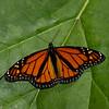 Danaus plexippus male, Monarque, Monarch butterfly - Hodges#4614, Danaini, Danainae, Nymphalidae<br /> 5613, Granby ,Quebec, 14 septembre 2017