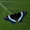 Limenitis arthemis, Papillon Amiral, White Admiral, Limenitidini, Nymphalidae<br /> 5847, Granby, Quebec, 14  juin 2016
