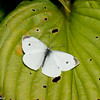 Pieris rapae, Piéride du chou, Cabbage White - Hodges#4197, Pierina, Pierini, Pierinae, Pieridae<br /> 5608, Granby ,Quebec, 14 septembre 2017