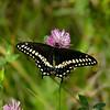Papilio polyxenes asterius male - Hodges#4159, Porte-queue du céleri, Eastern black swallowtail, Papilionini, Papilioninae<br /> 9862, Ste-Dorothee, Laval , Quebec, 24 aout 2010