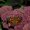 Vanessa cardui, Belle dame, Painted lady - Hodges#4435, Nymphalini, Nymphalinae, Nymphalidae<br /> 5619, Granby ,Quebec, 14 septembre 2017
