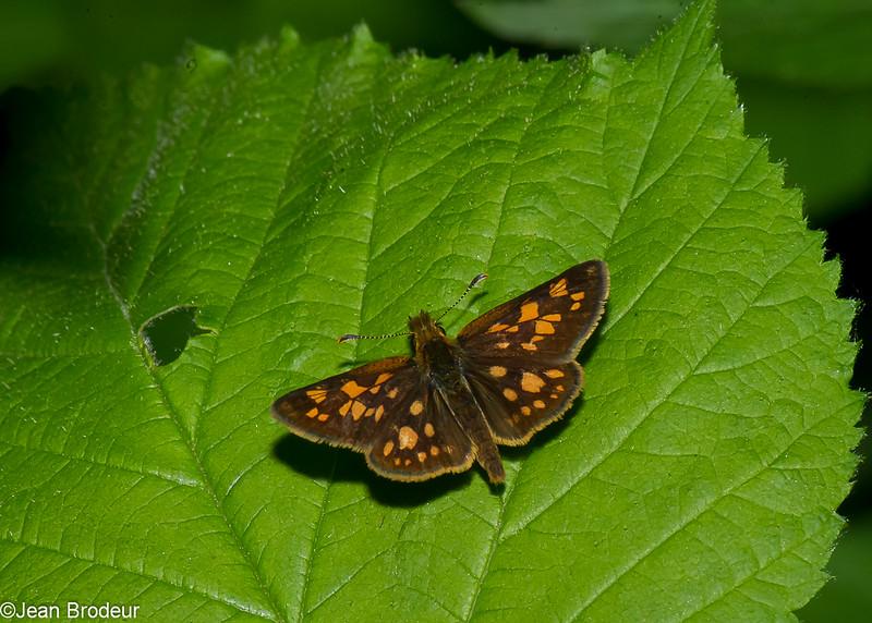 Carterocephalus palaemon, Échiquier, Arctic Skipper, Heteropterinae, Hesperiidae<br /> 5121, Granby, Quebec, 4  juin 2016