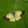 Colias philodice femelle, Coliade du trèfle, Clouded Sulphur - Hodges#4209, Coliadinae, Pieridae<br /> 7221, Granby, Quebec, 10 aout 2018