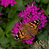 Vanessa cardui, Painted lady, Belle dame, Nymphalini, Nymphalinae, Nymphalidae<br /> 4855, Granby, Quebec, 2 aout 2017