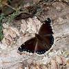 Nymphalis antiopa, Morio, Mourning Cloak ,Nymphalini, Nymphalidae<br /> 5261, Granby, Quebec, 6  juin 2016