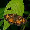 Phyciodes cocyta femelle, Croissant nordique, Northern Crescent, Melitaeini, Nymphalidae<br /> 7288, Contrecoeur, Quebec, 2 juillet 2016