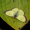 Colias interior male, Coliade intérieure, Pinkedged sulphur, Coliadinae, Pieridae<br /> 5610, Granby ,Quebec,14 septembre 2017