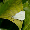 Pieris rapae, Cabbage butterfly, Piéride du chou, Pierina, Pierini, Pierinae, Pieridae<br /> 5049, Granby, Quebec, 8 aout 2017