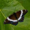 Limenitis arthemis, Papillon Amiral, White Admiral, Limenitidini, Nymphalidae<br /> 7327, Contrecoeur, Quebec, 3 juillet 2016