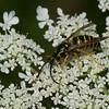 Vespula alascensis male, ( Vespula vulgaris ), Vespinae, Vespidae<br /> 6790, Bromont, Quebec, 24 juillet 2015