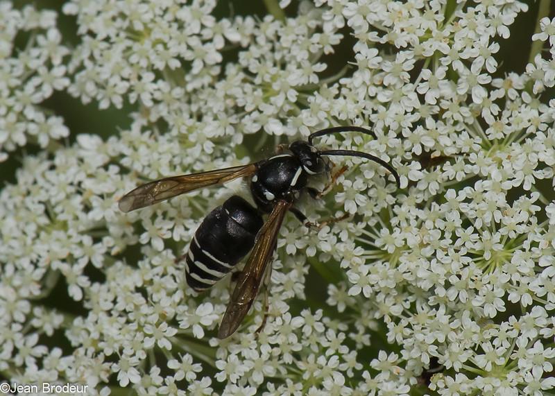 Dolichovespula arctica male, Blackjacket, Vespinae, Vespidae<br /> 6828, Bromont, Quebec, 24 juillet 2015