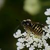 Vespula alascensis male ,(Vespula vulgaris) , guepe commune,  Vespidae<br /> 0032, Bromont, Quebec, 29 juillet 2016