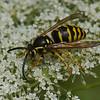 Dolichovespula arenaria male, Guepe jaune , Common Aerial Yellowjacket <br /> 1138, Bois-des-Filion, Québec, été 2010
