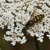 Vespula alascensis male ,(Vespula vulgaris) , guepe commune,  Vespidae<br /> 1318, Bromont, Quebec, 9 aout 2016