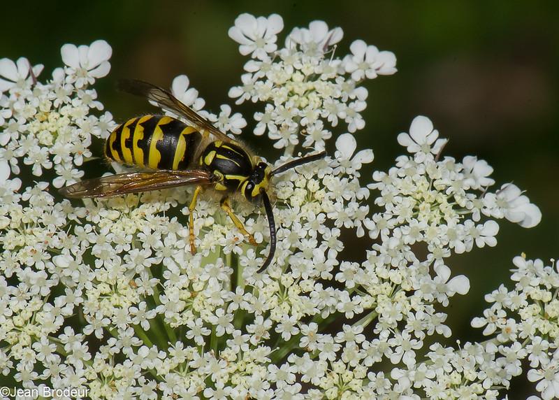 Dolichovespula arenaria male, , Guepe jaune, Aerial yellow jacket wasp, Vespini Vespidae<br /> 0508, Bromont, Quebec, 31 juillet 2016