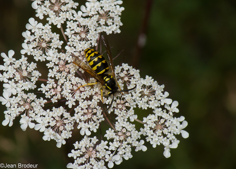 Dolichovespula arenaria male, Guepe jaune, Aerial yellow jacket wasp, Vespini Vespidae<br /> 1449, Bromont, Quebec, 9 aout 2016