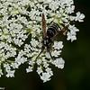 Dolichovespula arctica ouvriere, Parasitic Yellowjacket, (Dolichovespula adulterina )  Vespini, Vespidae<br /> 9803, Bromont, Quebec, 28 juillet 2016