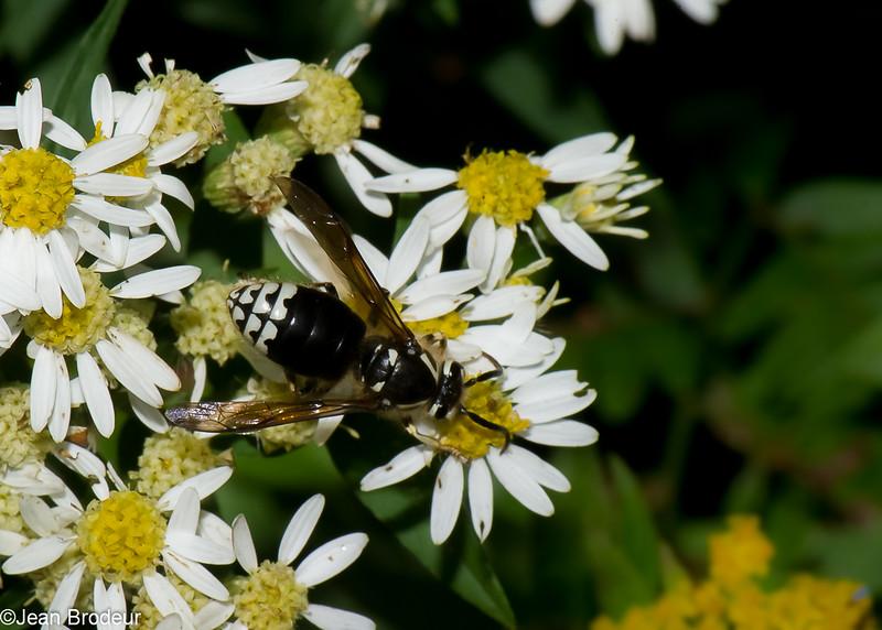 Dolichovespula maculata reine, Guêpe à taches blanches, Bald-faced Hornet, Vespini, Vespidae<br /> 3384, St-Hugues, Quebec, 4 septembre 2016