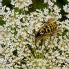 Dolichovespula arenaria male, Guepe jaune, Aerial yellow jacket wasp, Vespini Vespidae<br /> 0638, Bromont, Quebec, 31 juillet 2016