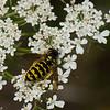 Vespula alascensis reine ,(Vespula vulgaris) , guepe commune,  Vespidae<br /> 0036, Bromont, Quebec, 29 juillet 2016