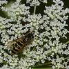 Vespula alascensis ouvriere ,(Vespula vulgaris) , guepe commune,  Vespidae<br /> 0148, Bromont, Quebec, 29 juillet 2016
