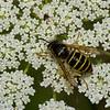 Vespula alascensis ouvriere ,(Vespula vulgaris) , guepe commune,  Common Yellowjacket, Vespidae<br /> 0716, Bromont, Quebec, 1 aout 2016
