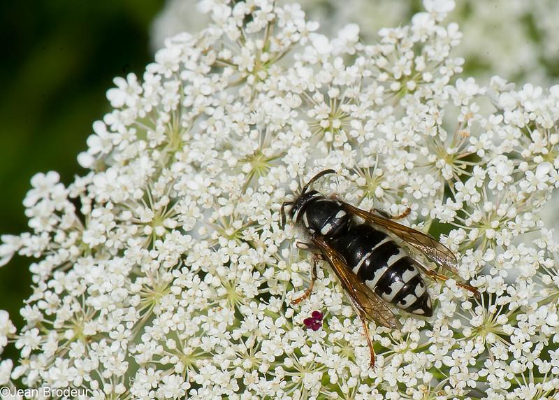 Dolichovespula arctica reine, Parasitic Yellowjacket, (Dolichovespula adulterina )  Vespini, Vespidae<br /> 0353, Bromont, Quebec, 30 juillet 2016