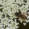 Vespula alascensis ouvriere ,(Vespula vulgaris) , guepe commune,  Vespidae<br /> 1339, Bromont, Quebec, 9 aout 2016