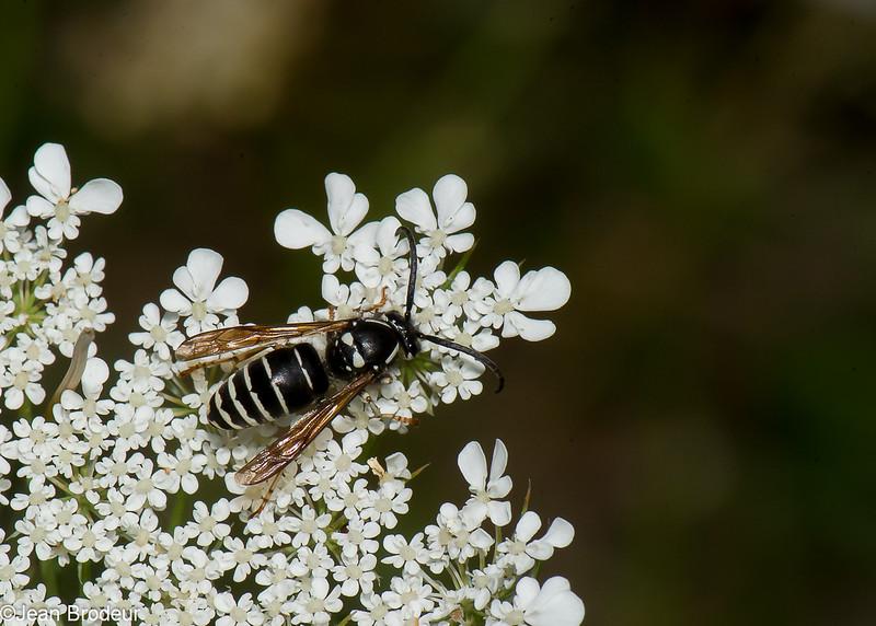 Dolichovespula arctica male, Parasitic Yellowjacket, (Dolichovespula adulterina )  Vespini, Vespidae<br /> 1422, Bromont, Quebec, 9 aout 2016
