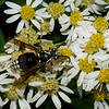 Dolichovespula maculata reine, Guêpe à taches blanches, Bald-faced Hornet, Vespini, Vespidae<br /> 3346, St-Hugues, Quebec, 4 septembre 2016