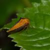 Alchisme sp. Treehoppers, Membracidae<br /> 0017, Guango Lodge, Napo, Ecuador, 30 novembre 2015