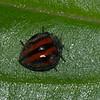 Epilachna monovittata, Lady Beetle, Epilachnini, Coccinellidae<br /> 9181, Yanacocha Reserve, Quito ,Pichincha, Ecuador, 25 novembre 2015