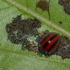 Epilachna monovittata, Epilachnini, Coccinellidae<br /> 9184, Yanacocha Reserve, Quito ,Pichincha, Ecuador, 25 novembre 2015
